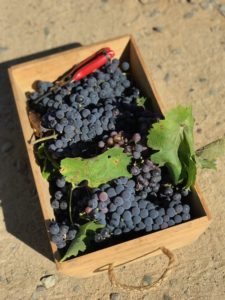 syrah grapes harvested in chile